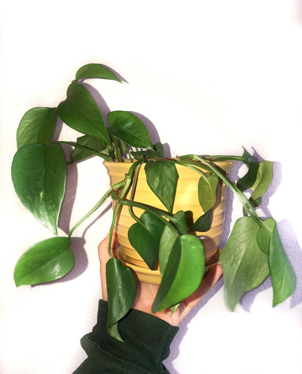 droopy pothos leaves