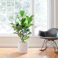 Fiddle Leaf Fig - Leon and George