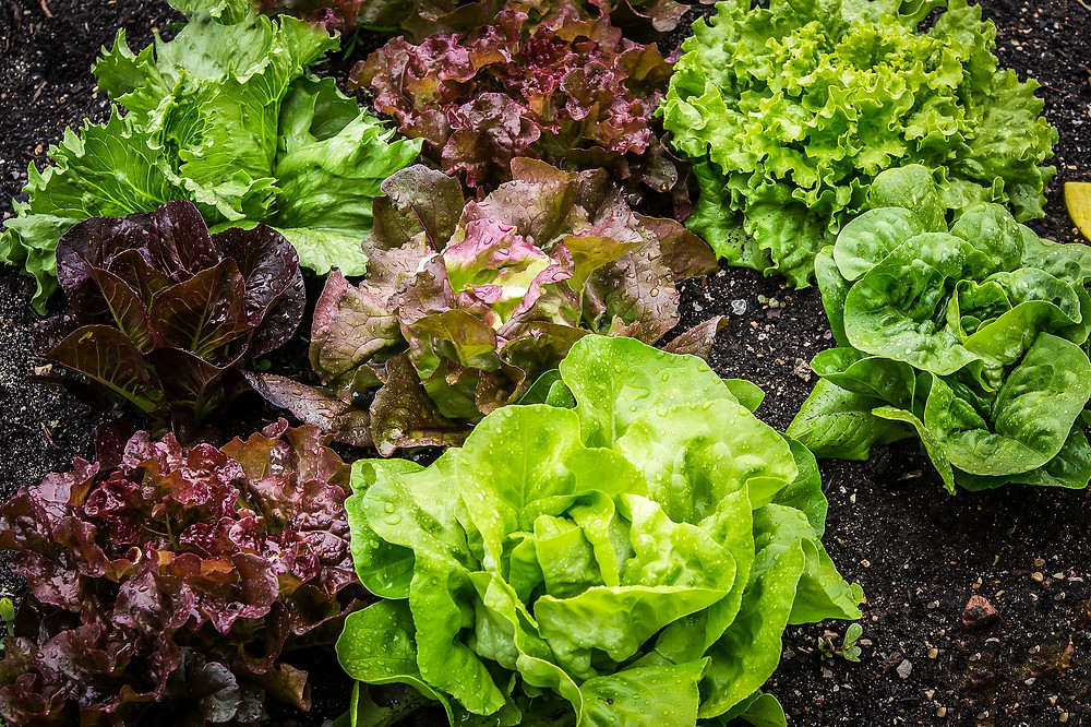 Lettuce and Salad Greens in Garden
