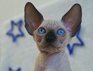 эльф двэльф бамбино сфинкс кошки питомник кошки котята giving joy elf dwelf bambino sphynx cats kittens cattery