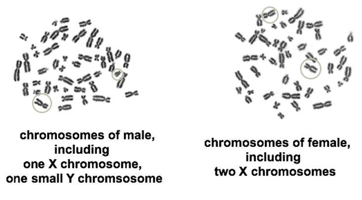 BG 4 Chromosomes, male, female.jpg