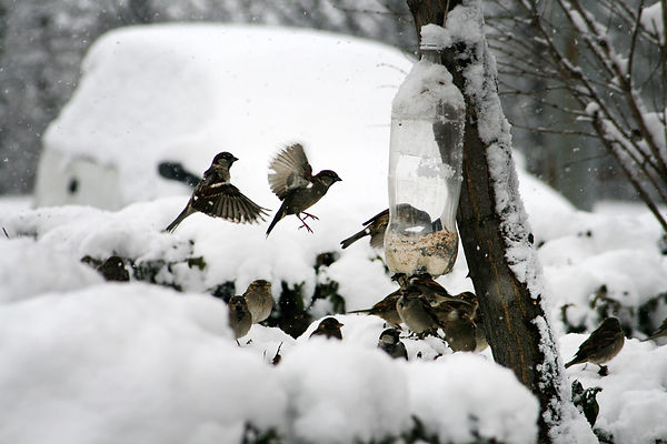 воробьи, кормушка, зима, птицы
