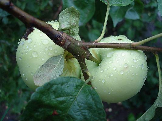 яблоки, яблоня, белый налив