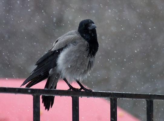 ворона, снег, зима