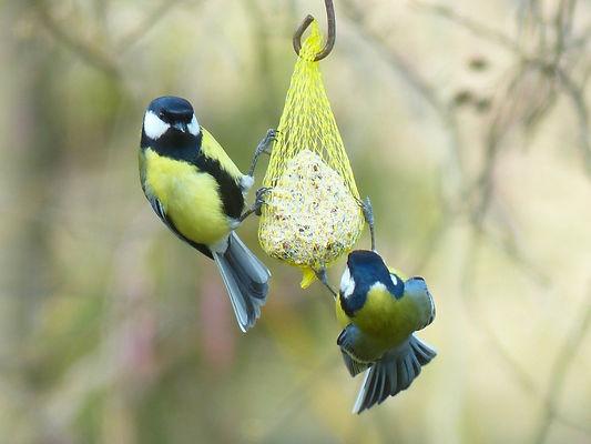 синицы, птицы, кормушка