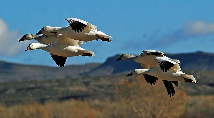 гуси, перелетные птицы, косяк