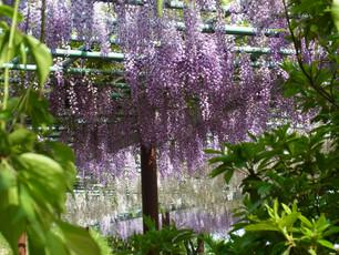 藤の咲き誇る蓮華寺池公園