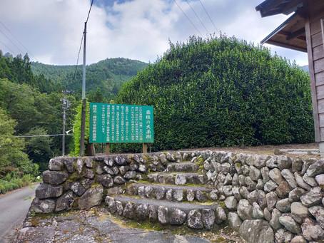 藤枝の大茶樹