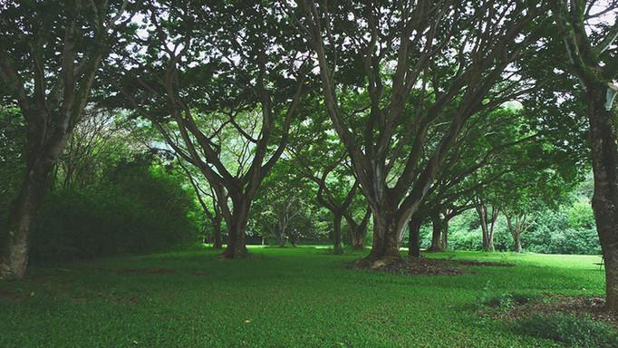 Ho'o Trees