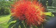 Brownea macrophylla bloom_matte.jpg