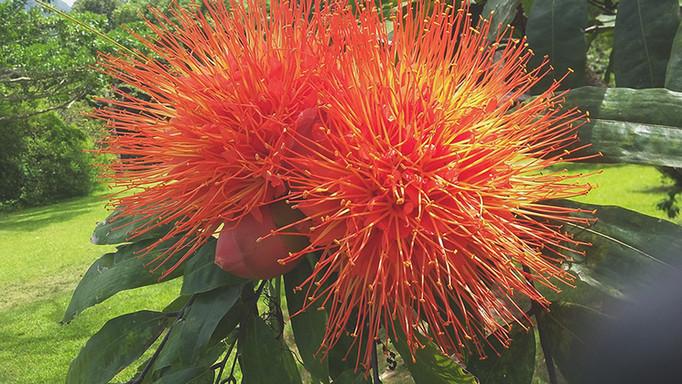 Brownea macrophylla bloom