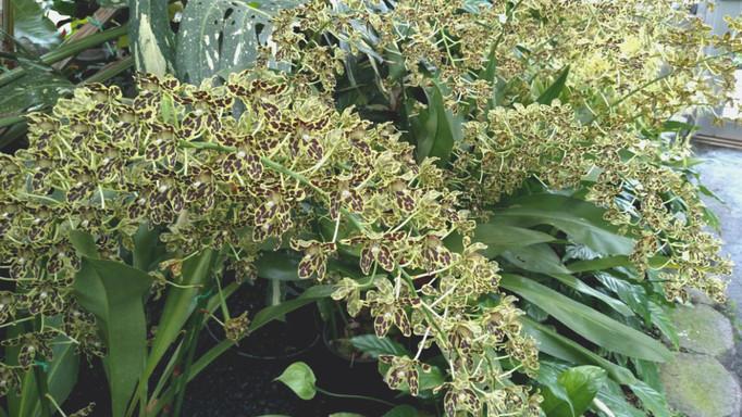 Leopard Orchids Grammatophyllum