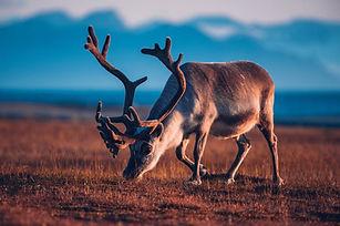 svalbard_reindeer.jpg