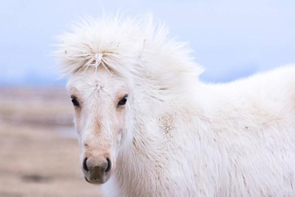 icelandic_horsejpg