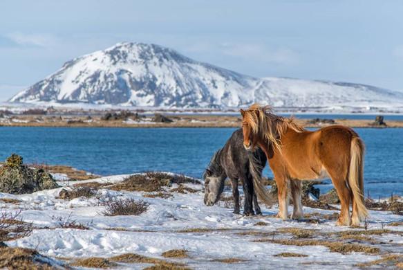 icelandic_horsesjpg