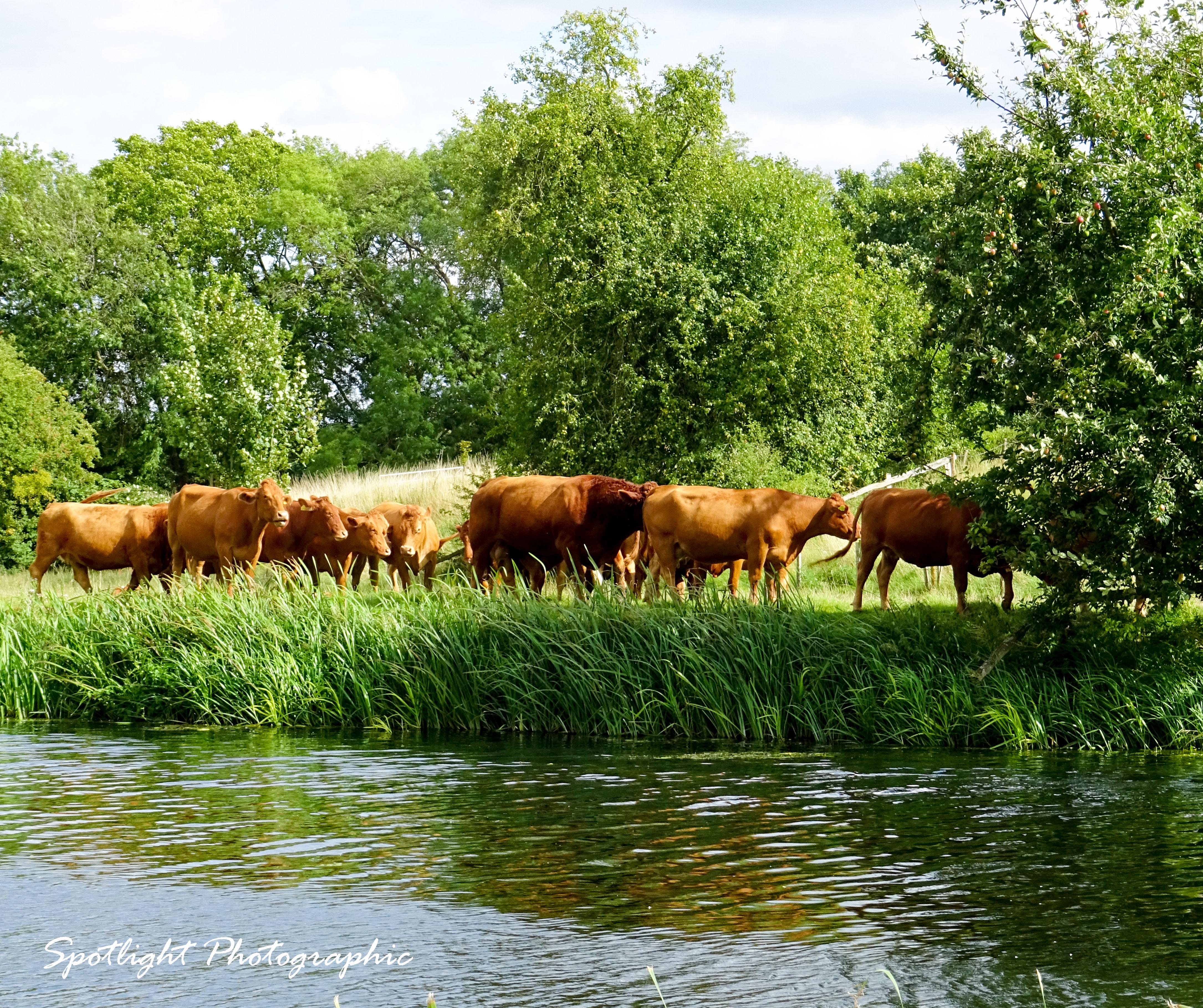 Constables  Cows
