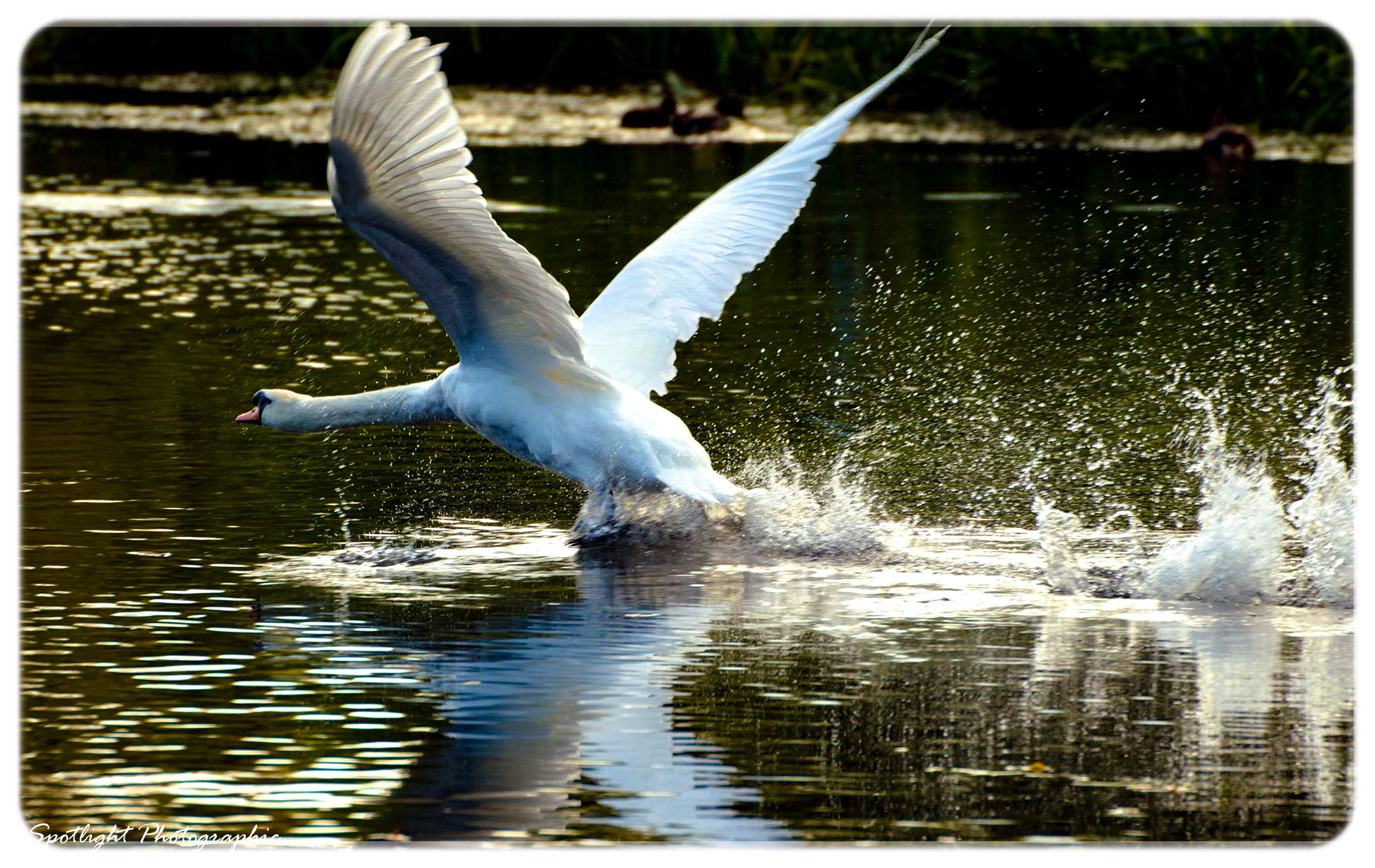 sudbury swan2