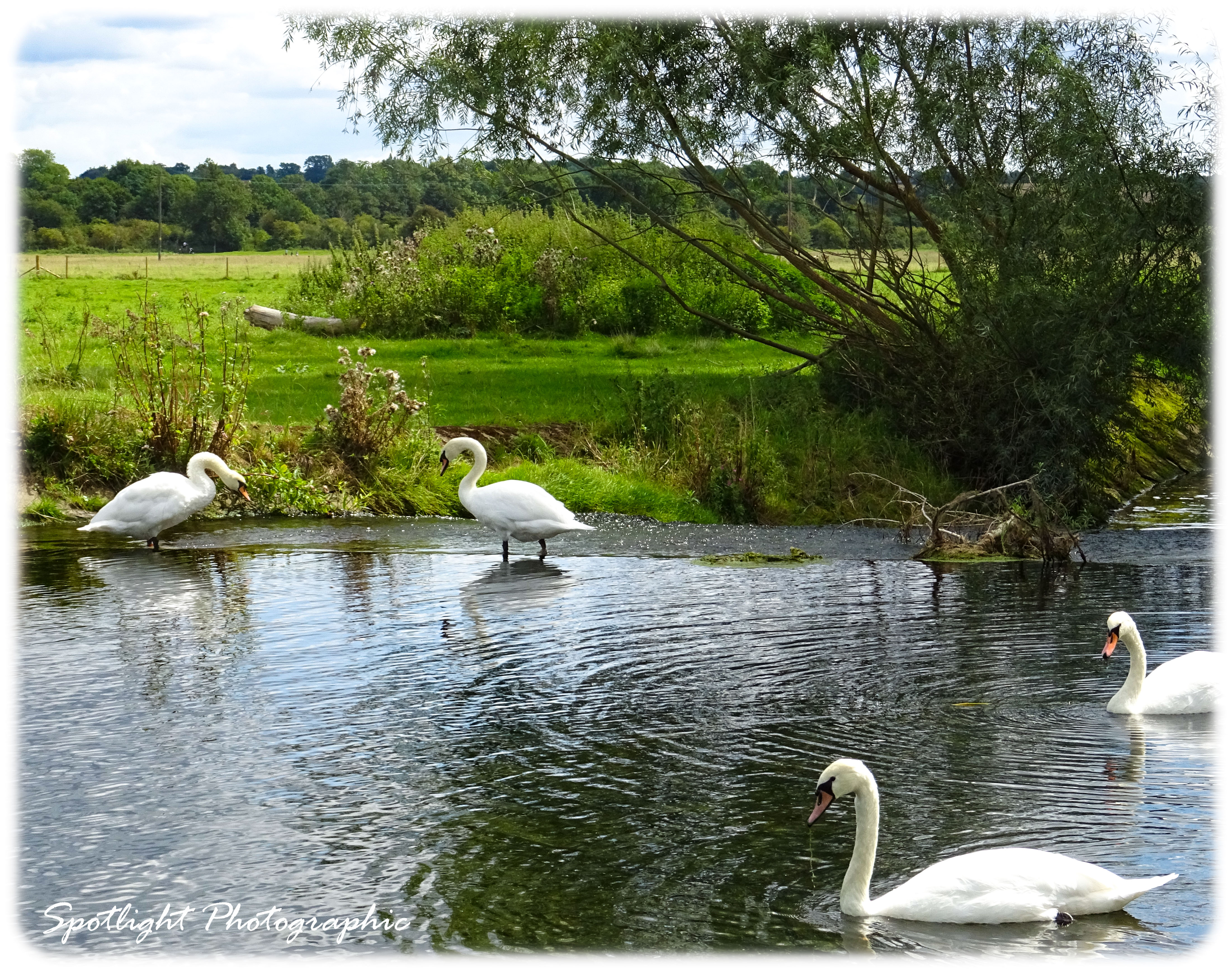 Henny Swans