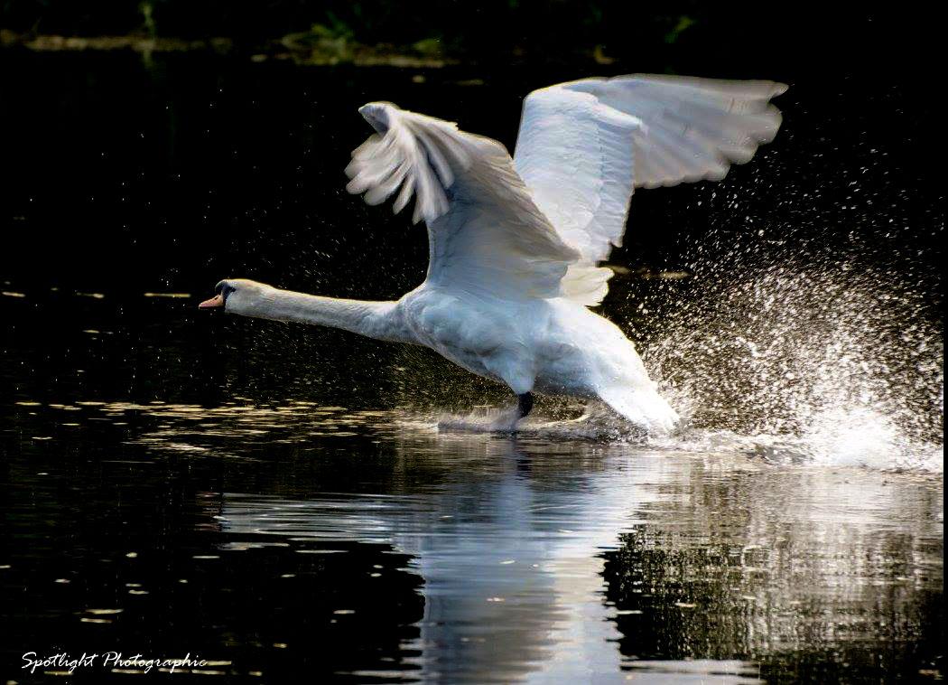 sudbury swan