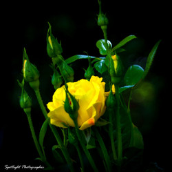 Dramatic Yellow