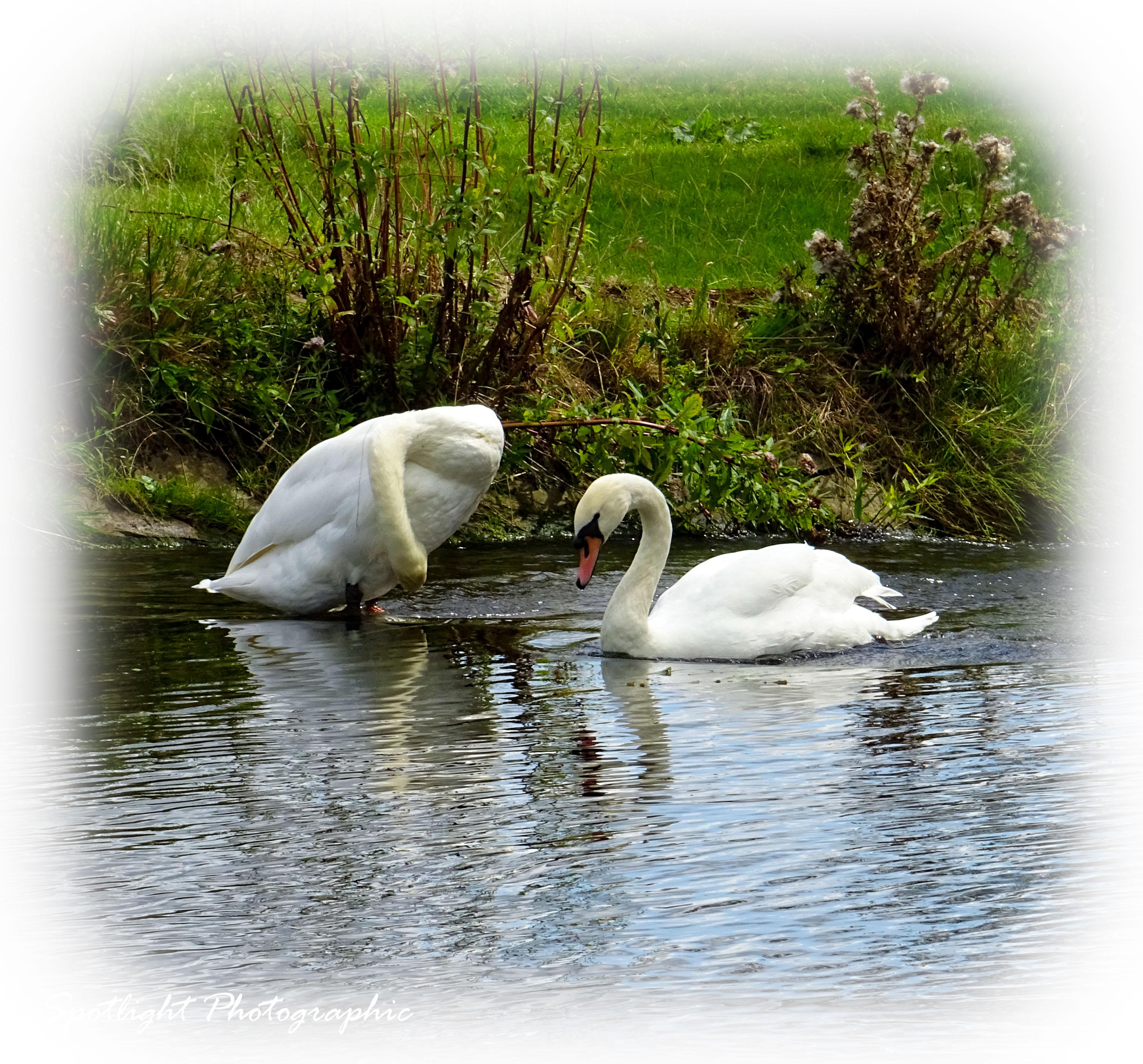 Henny Swans 2