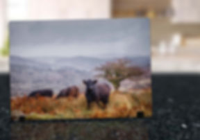 DARTMOOR COWS - GLASS DISPLAY ART MOCKUP
