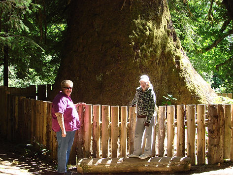 port renfrew largest tree