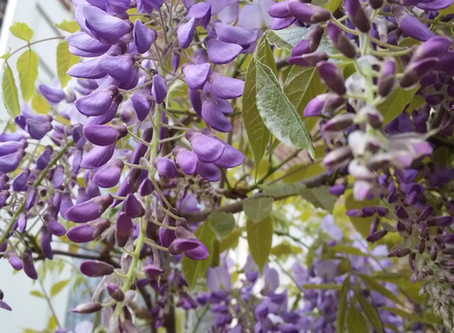 Wisteria and the American Wüster Family