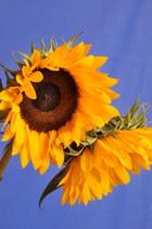 Sunflowers (portrait)