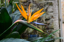 Bird of Paradise, Wales
