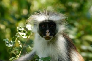 Colobus monkey Zanzibar 2008