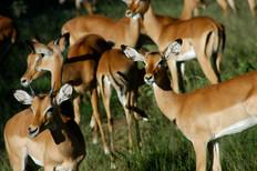 Safari Antelopes 2008
