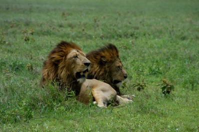 Safari Lions Serengeti, 2008