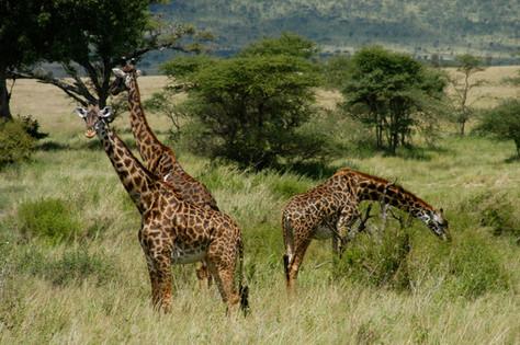 Giraffes, Manyara park, Tanzania 2008