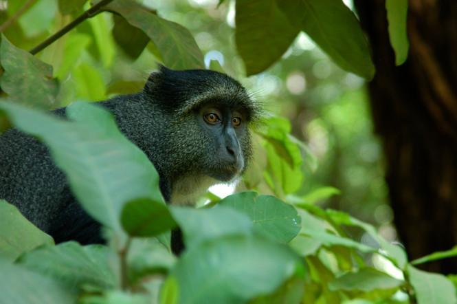 Zanzibar Monkey, 2008