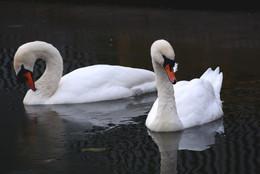 Swans in Love 2015