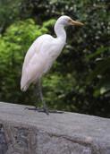 Malaysia White Stork, 2005