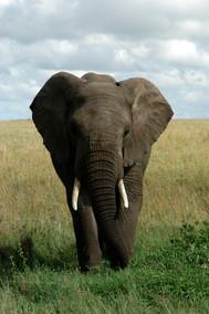 African Elephant 2008