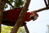 Canarian Red Parrot, 2015