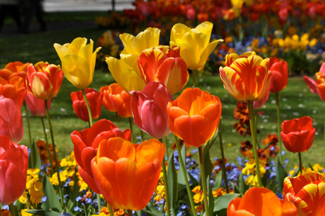 Red and yellow Tulip Landscape