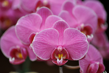 Pink Orchids, Tenerife