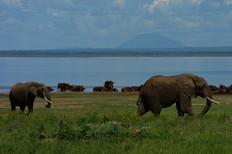 African Elephant, Manyara park 2008