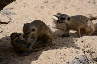 Meerkats Playing, 2015