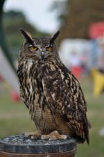 Owl 2013