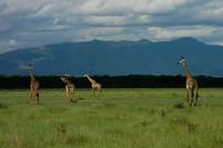 Giraffes, Serengeti, 2008