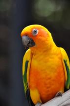 Canarian Parrot 2013