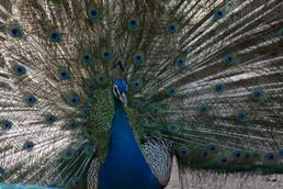 Peacock, 2014