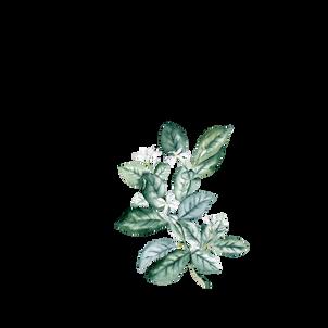 سكرابز ورق اخضر