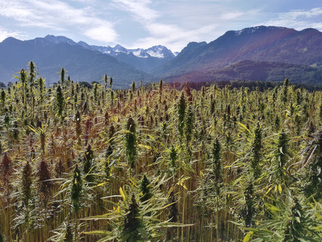 Hemp Flower & Fiber Dual Crops -- A Future for Hemp Production Agriculture?