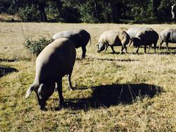 Iberico pigs 7